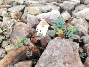 稀に白いコマクサも咲きます