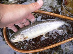 自然の川でイワナやヤマメを釣りに行こう!