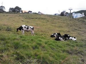 たくさんの牛が放牧されています