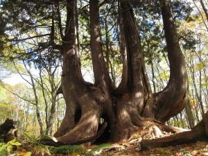 ねずこの巨木