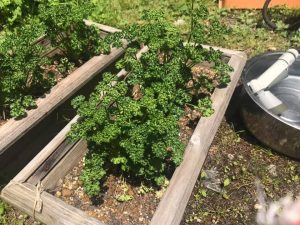 付け合わせに重宝するパセリも夏は庭で採れます